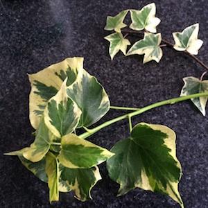 adult:juvenile ivy