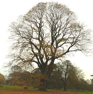 champ tree
