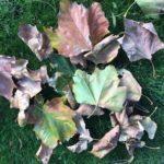 fallen leaves