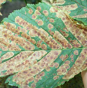 Horseschestnut leaf miner
